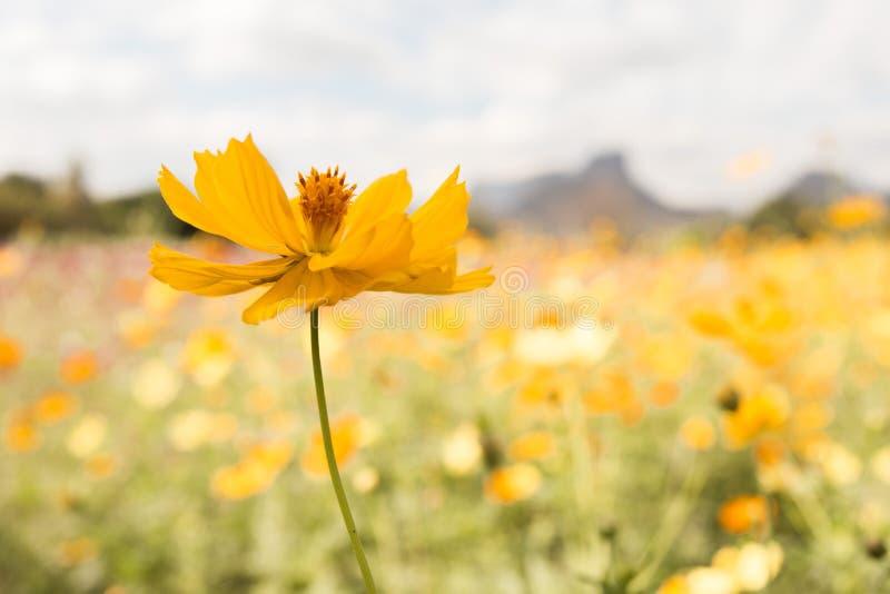 黄色波斯菊在后花园里开花绽放 免版税库存照片