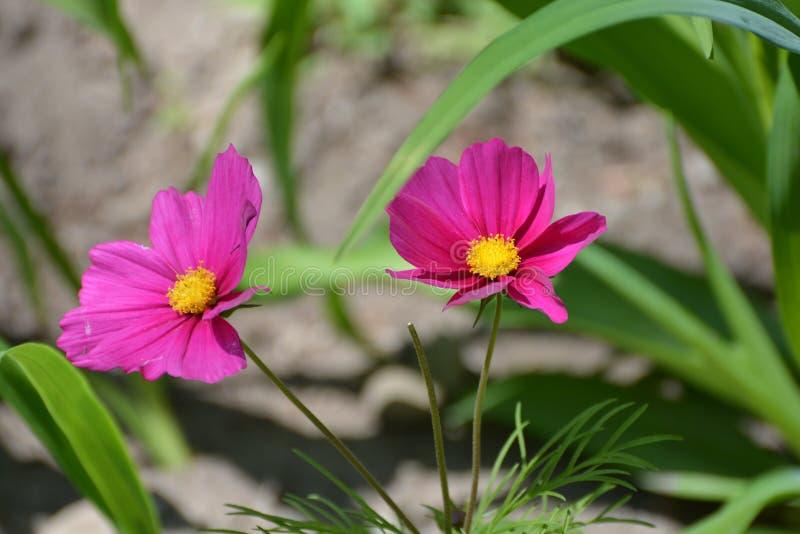 紫色波斯菊在庭院里 免版税图库摄影