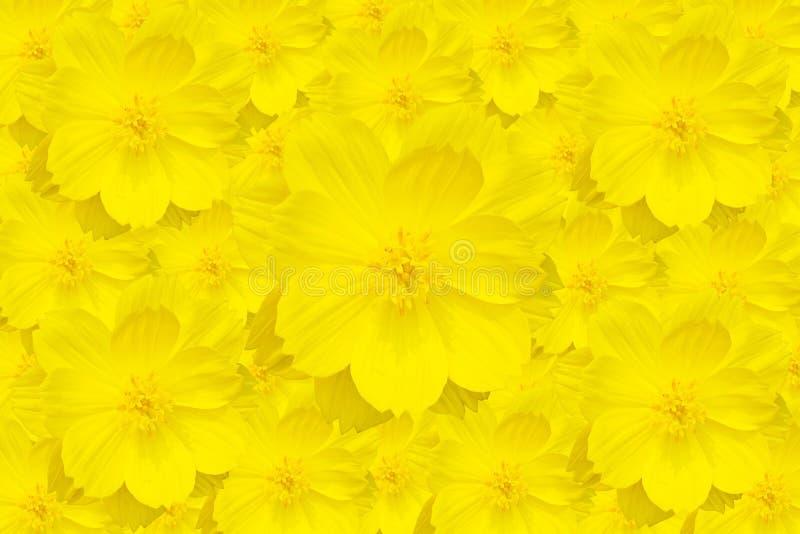 黄色波斯菊花 库存照片