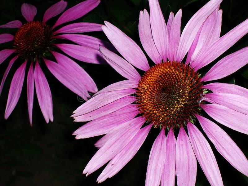 紫色海胆亚目开花(紫色锥体花) 免版税库存照片