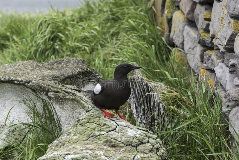 黑色海雀科的鸟 库存图片