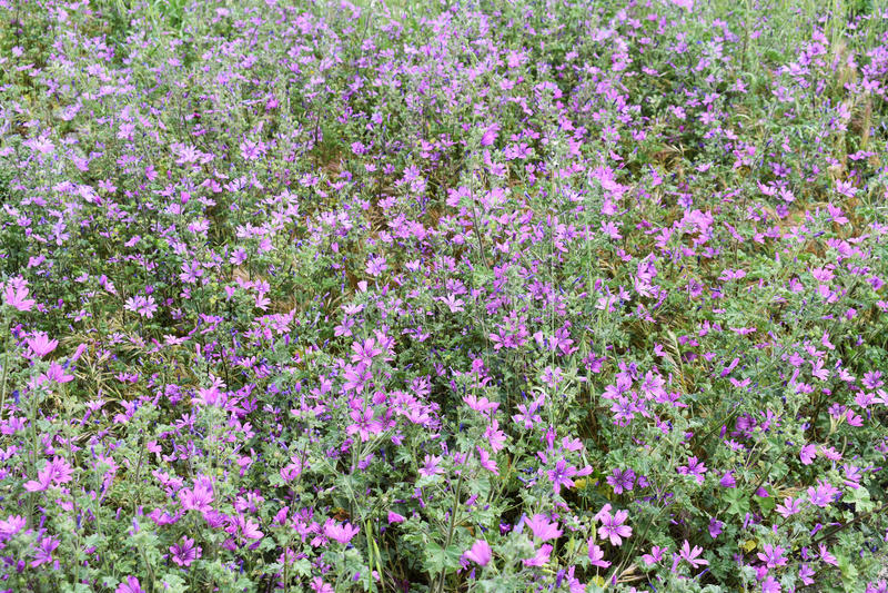 紫色淡紫色花 免版税库存图片