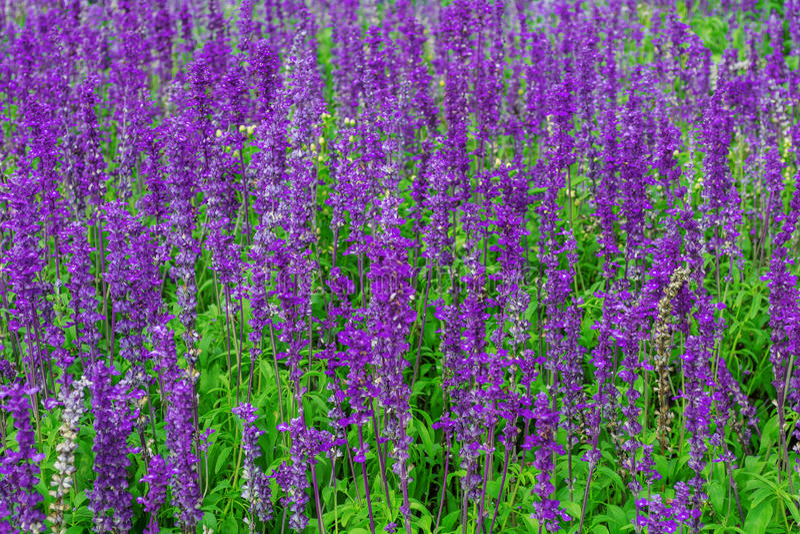 紫色淡紫色 库存图片