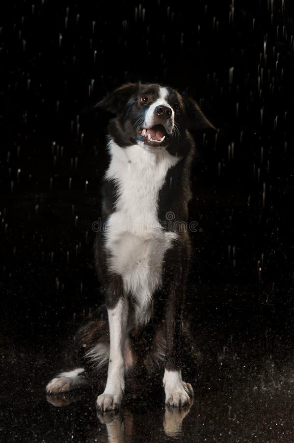 水色演播室,在黑暗的背景的博德牧羊犬与雨 免版税库存照片