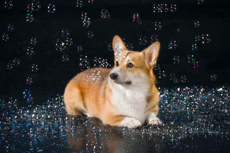 水色演播室,威尔士在黑暗的背景的小狗彭布罗克角与Bu 免版税库存照片