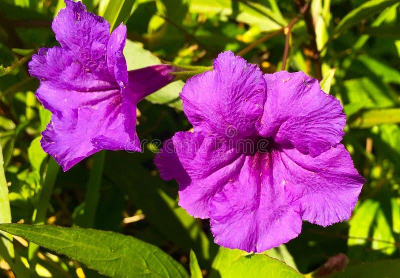 紫色激情 免版税库存图片