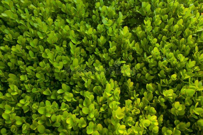 绿色灌木纹理,叶子背景  库存图片
