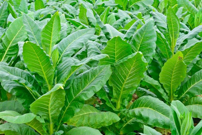 绿色烟草田在泰国在夏天 库存图片