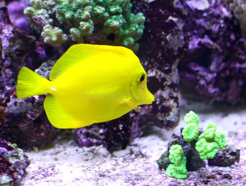 黄色热带鱼游泳在海 库存图片