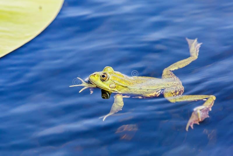 绿色牛蛙在水中 库存图片