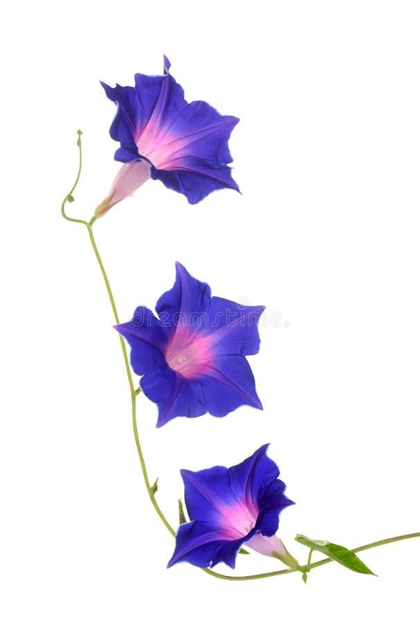 紫色牵牛花 图库摄影