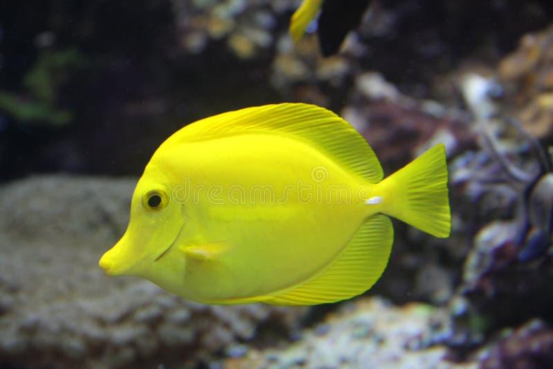 黄色特性 免版税库存照片