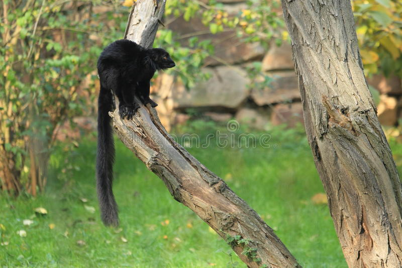 黑色狐猴 免版税库存照片