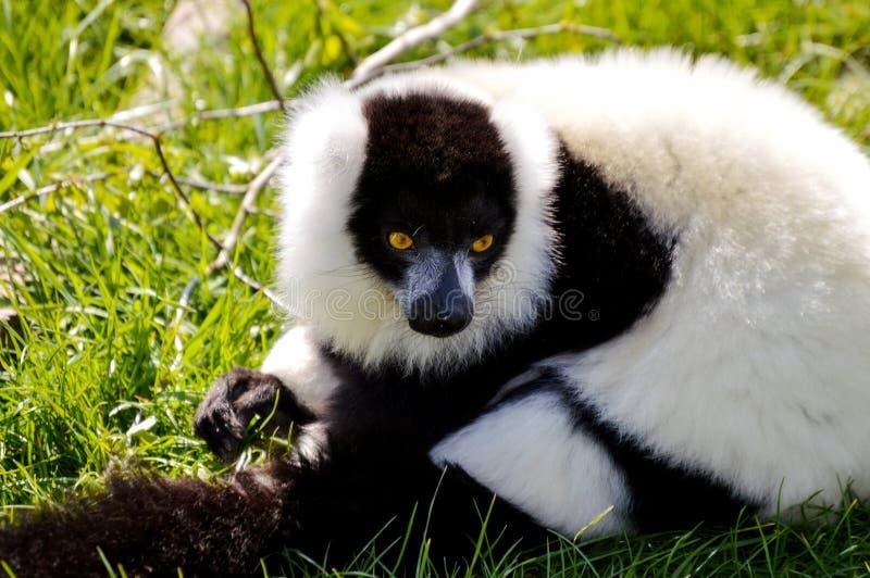 Download 黑色狐猴ruffed白色 库存照片. 图片 包括有 毛皮, 投反对票, 凝视, 开会, ,并且, 马达加斯加 - 59101034