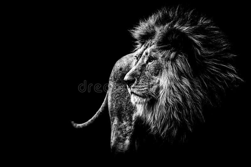 黑色狮子白色 免版税库存图片