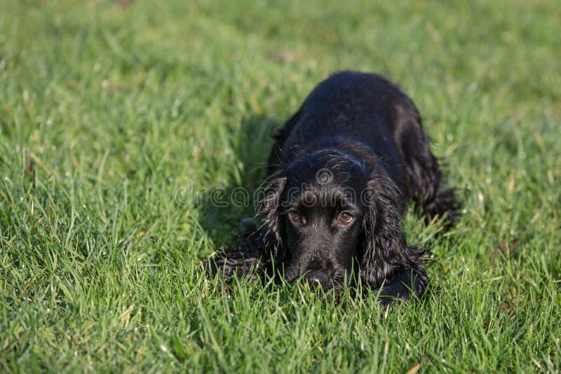 黑色猎犬 免版税图库摄影