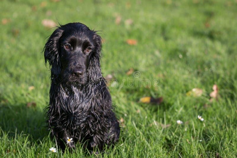 黑色猎犬 免版税库存照片