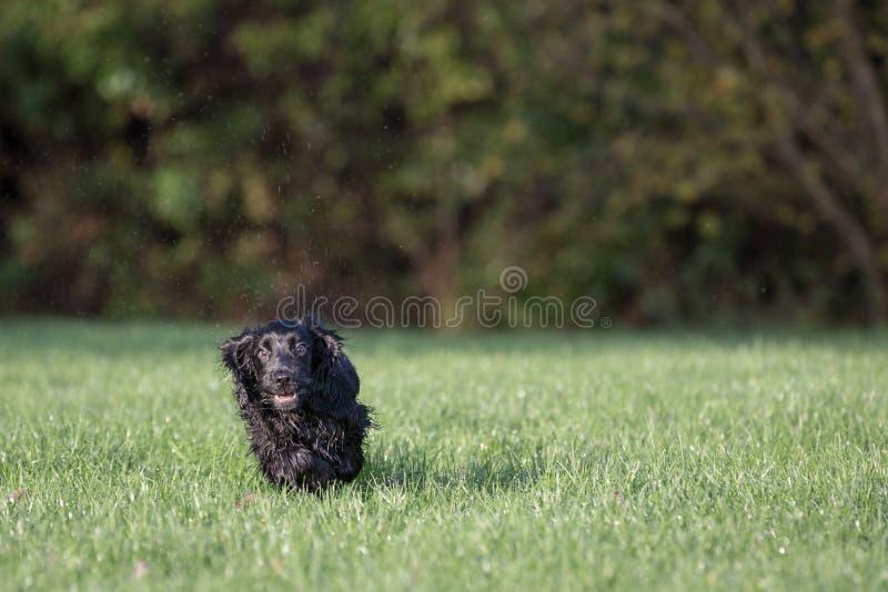 黑色猎犬 免版税库存图片