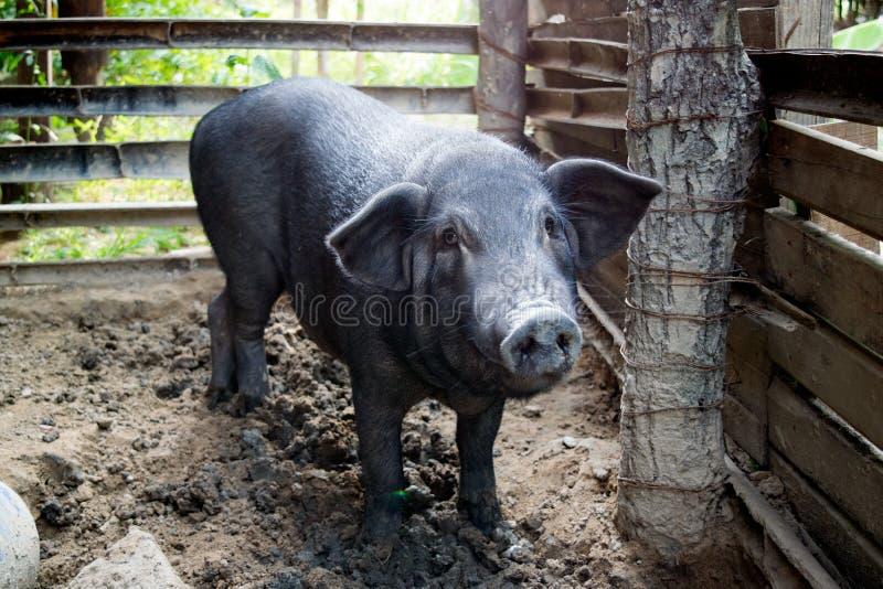 黑色猪 免版税库存图片