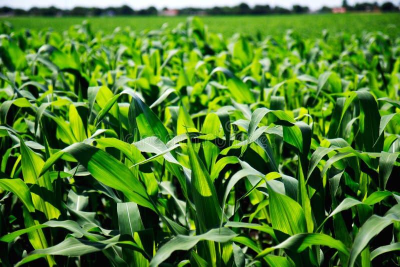 绿色玉米田特写镜头 免版税图库摄影