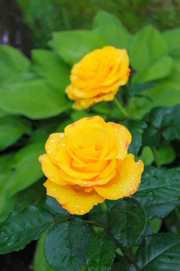 黄色玫瑰在庭院里 图库摄影
