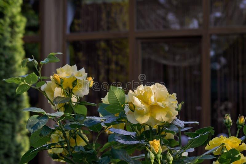黄色玫瑰在庭院里 库存图片