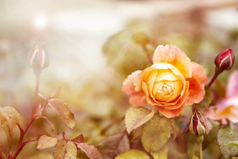 黄色玫瑰在阳光下 图库摄影