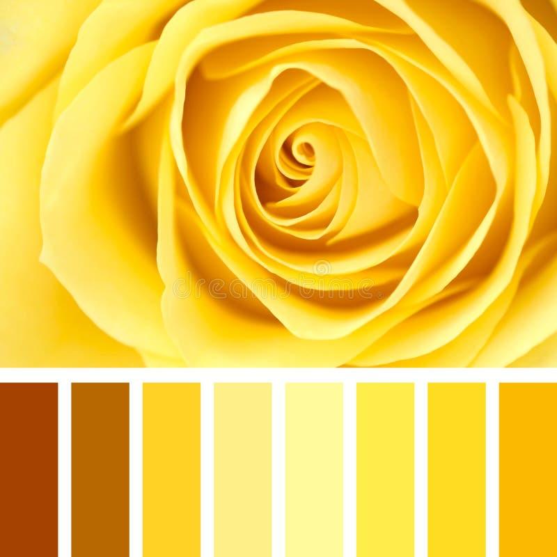 黄色玫瑰特写镜头调色板 库存照片