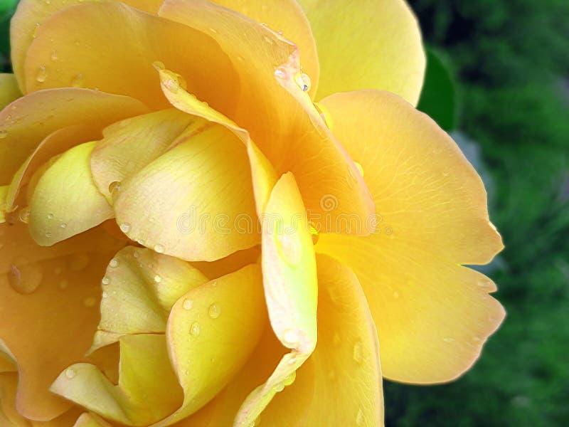 黄色玫瑰用水在雨以后滴下 免版税库存图片