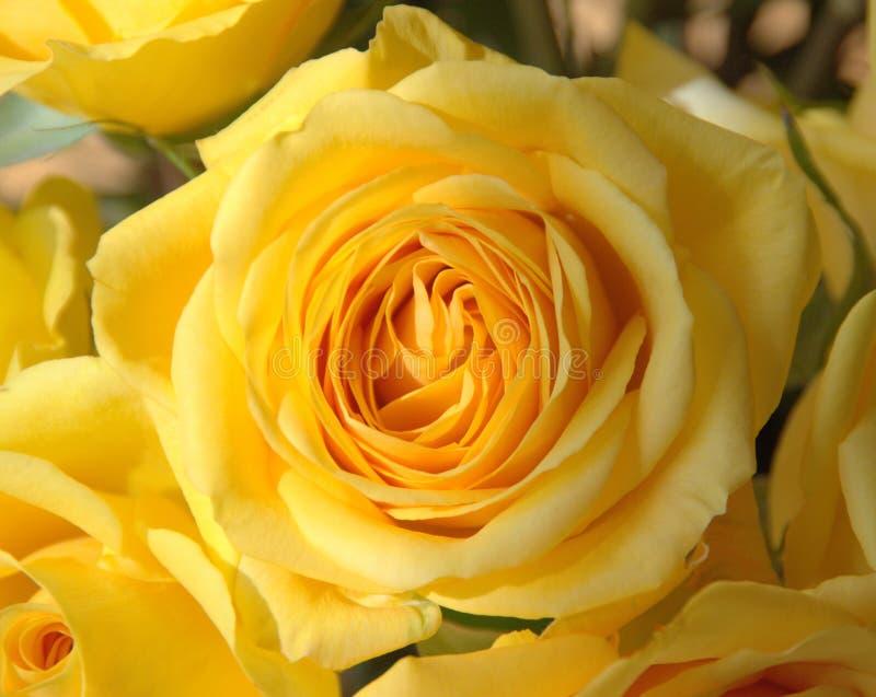 黄色玫瑰 库存图片