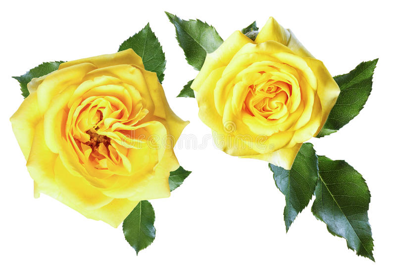 黄色玫瑰 向量例证
