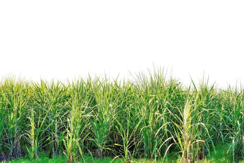 绿色甘蔗 免版税图库摄影