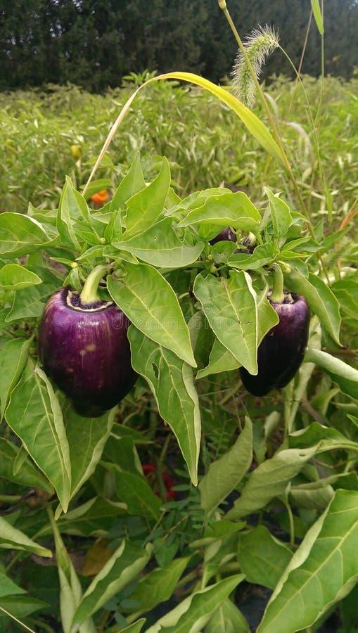 紫色甜椒 免版税库存照片