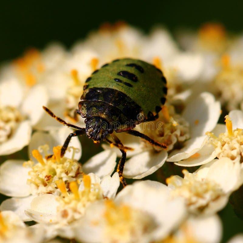 绿色甲虫 库存照片