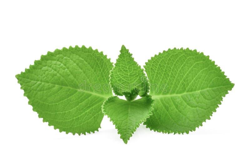 绿色留下国家琉璃苣,印地安琉璃苣,锦紫苏amboinicus 免版税图库摄影