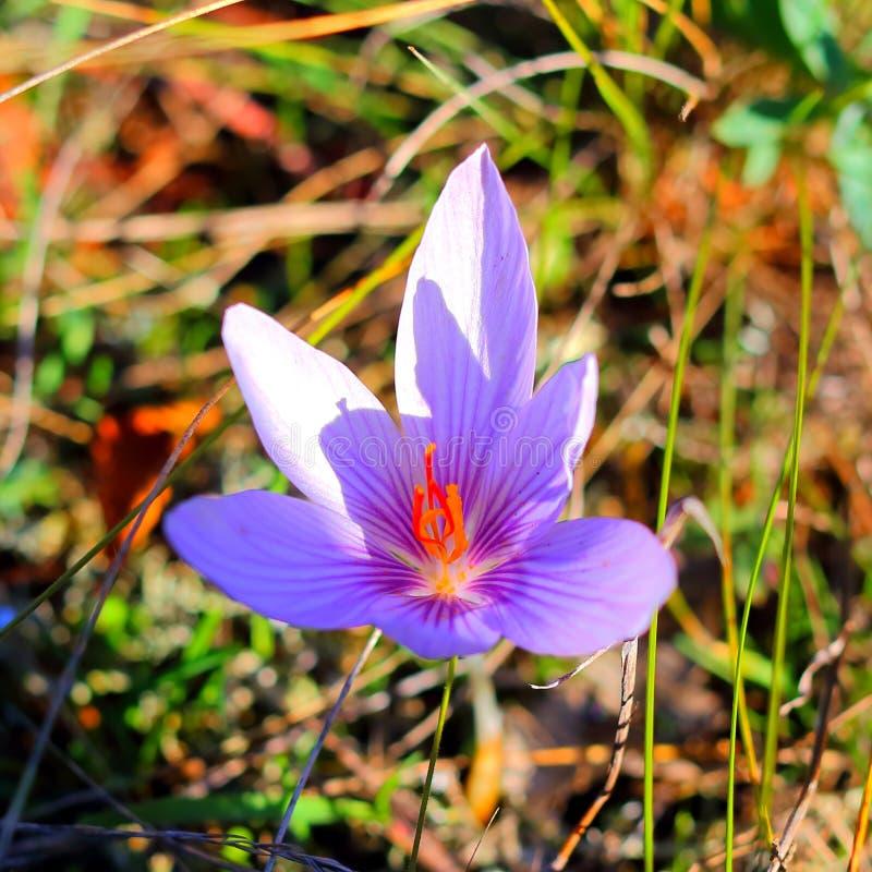 紫色番红花照片本质上 图库摄影