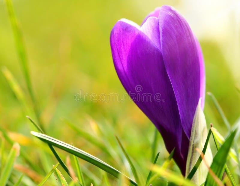 紫色番红花花 库存照片
