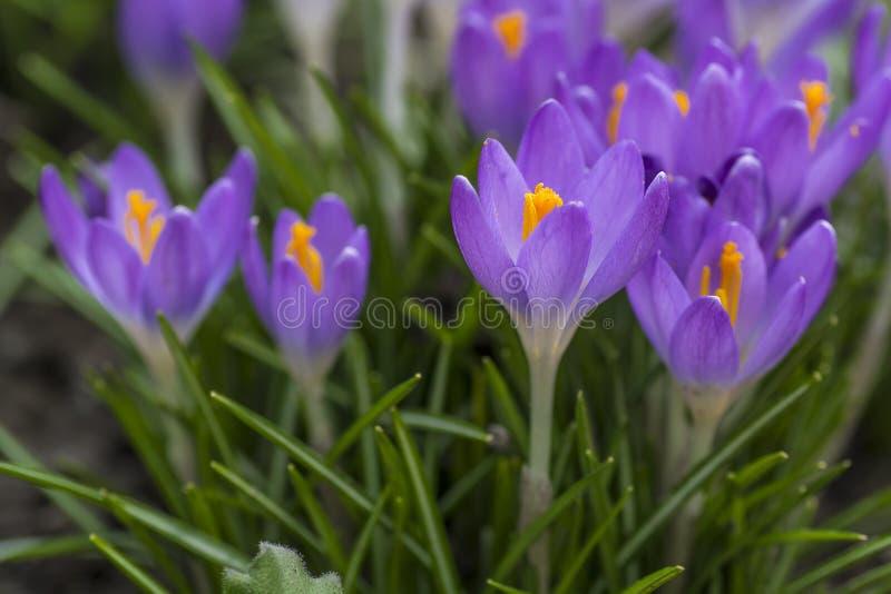 紫色番红花通过土壤做了他的方式 图库摄影