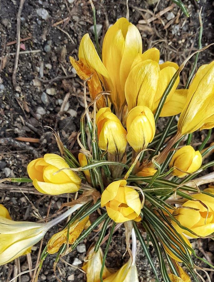 黄色番红花从上面 免版税库存照片