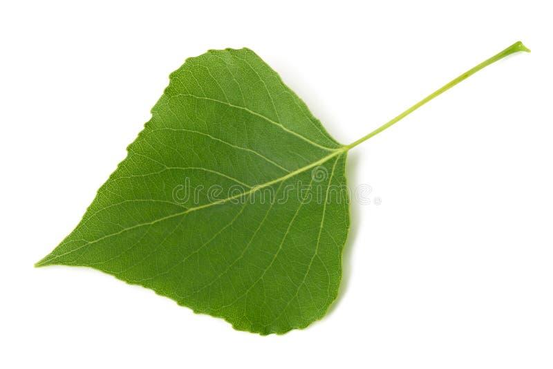 绿色白杨树叶子 免版税库存图片