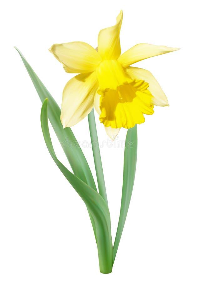 黄色白的水仙花 向量例证
