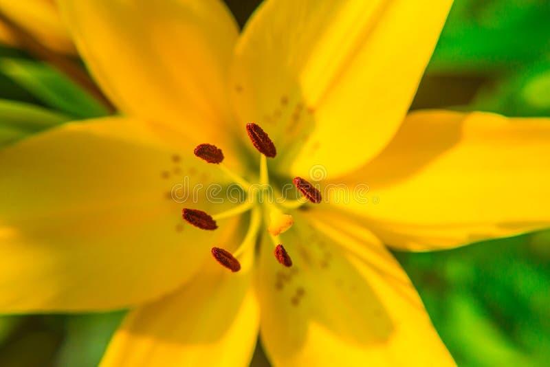 黄色百合花特写镜头 雌蕊、雄芯花蕊和花粉 宏指令 免版税库存照片