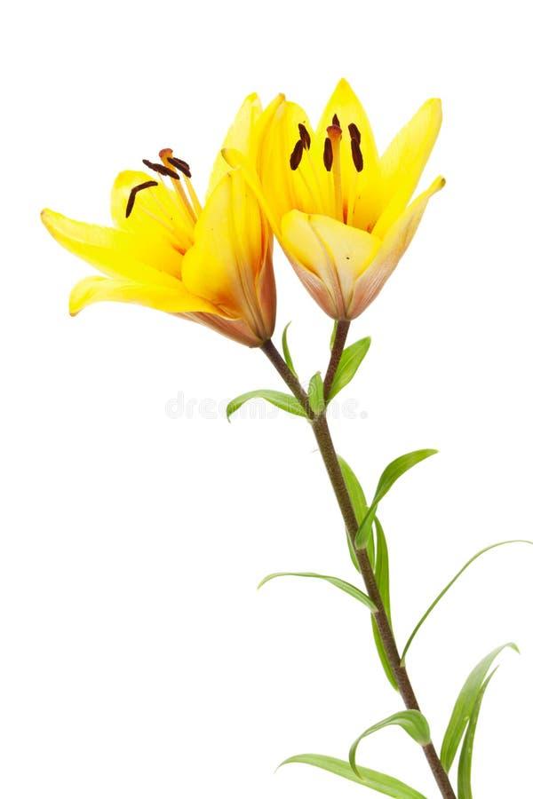 黄色百合花 库存图片