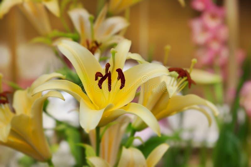 Download 黄色百合 库存图片. 图片 包括有 budd, 特写镜头, 框架, 百合, 本质, 题头, 开花的, 绿色 - 30325483