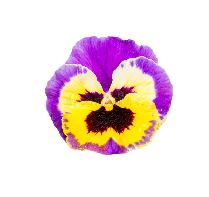 紫色的中提琴和在白色Backgroun隔绝的黄色蝴蝶花花 免版税库存照片