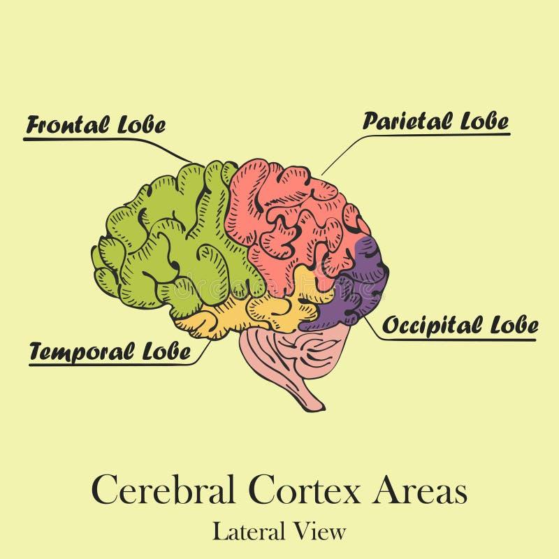 色的人脑地区 侧向看法 库存例证