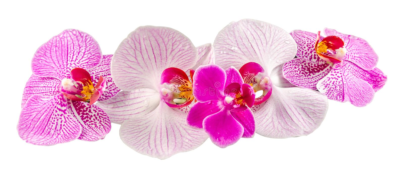 色的兰花开花,淡紫色,黄色,桃红色,紫色, Orhideea兰花植物 免版税库存图片