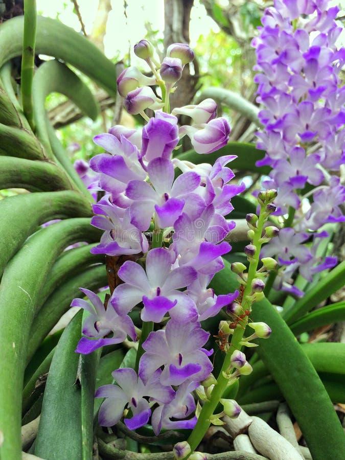 紫色的兰花 库存照片
