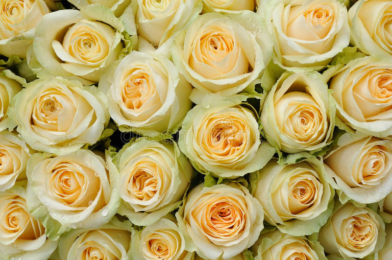 色的奶油色玫瑰 库存照片