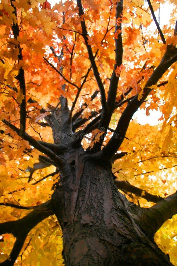 色的槭树橙树 免版税图库摄影